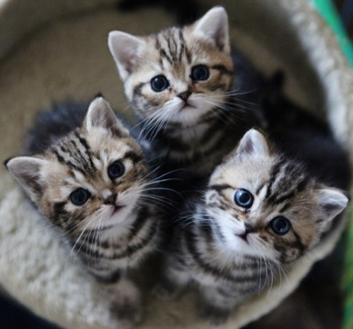 brit rövidszőrű kiscicák etetése