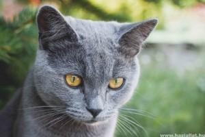 A brit rövidszőrű macska helyes táplálása: hogyan etessük?