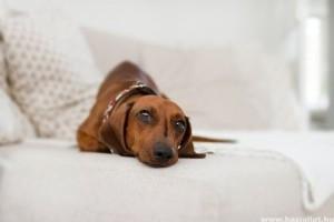 Bolhaallergia és atópia kutyáknál: ezek a tünetei