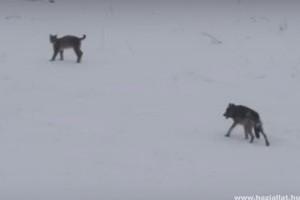 A farkas és a hiúz ritka találkozóját kapták lencsevégre