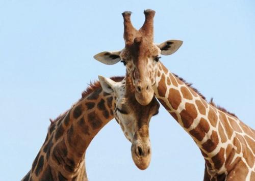 Zsiráf hosszú nyakának a titka