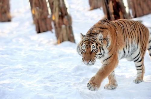 Becslések szerint körülbelül 500 szibériai tigris élhet vadon