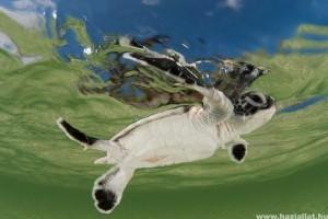 A nyílt vízi mesterséges fény összezavarja a bébiteknősöket