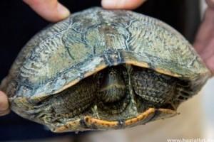 Május 23. a teknősök világnapja: ők a legkülönlegesebbek