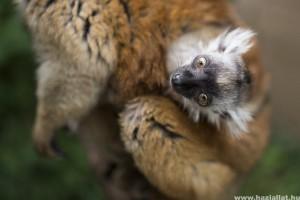 Szerecsenmaki született a Nyíregyházi Állatparkban