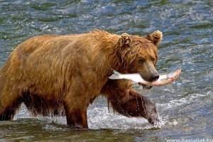 Halászó medvék - Webkamera ÉLŐBEN