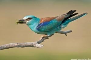 Pillants be egy szalakóta fészekbe - ilyet még úgysem láttál!