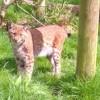 Három hét után sikerült befogni az angol állatparkból megszökött hiúzt