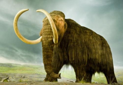 gyapjas_mammut