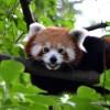 Éves belépőt nyerhetsz az állatkertbe, ha legelőször lefotózod a pandakölyköt