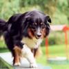 Ritka kísérletre készülnek a tanult kutyák fesztiválján