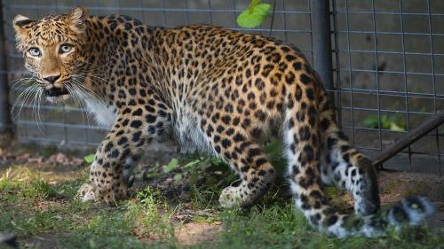 eszak_kinai_leopard1