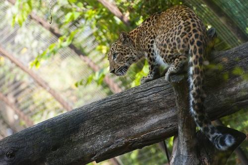 eszak_kinai_leopard2