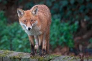Szombaton indul a rókák veszettség elleni vakcinázása
