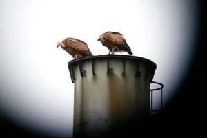 Két keselyűfaj is Magyarországra látogatott október első napjaiban