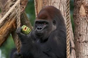 Kiszökött egy gorilla a londoni állatkerti otthonából