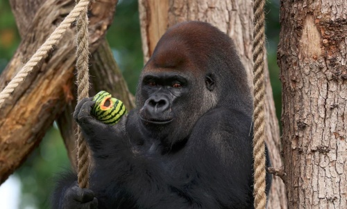 london_gorilla