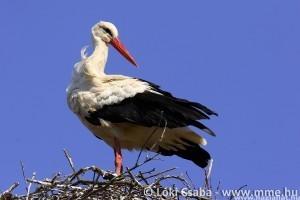 Felhívás: Mostantól lehet magasító állványra helyeztetni a veszélyes fehér gólya fészkeket!