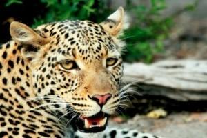 A vadászat miatt halhat ki több száz veszélyeztetett szárazföldi emlősfaj