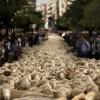 Több mint kétezer birka lepte el a spanyol főváros utcáit