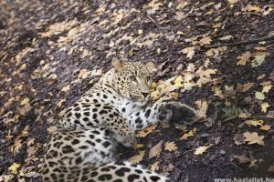 Perzsa párduc érkezett a Nyíregyházi Állatparkba