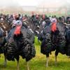 Madárinfluenza egy pulykatelepen: 9000 madarat kell leölni