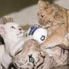 Társat kapott a Nyíregyházi Állatpark fehér oroszlánja