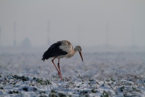 Mivel segíthetjük a gólyákat átvészelni telet?