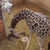 Zsiráfborjú 2017 első újszülöttje a budapesti állatkertben