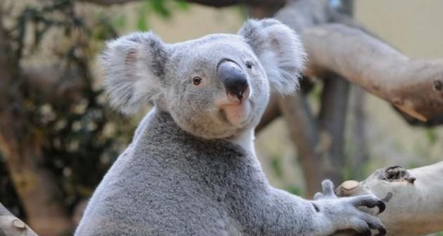 Tragédia: elpusztult a fővárosi állatkert egyik koalája
