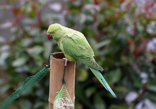 kissandor_papagaj