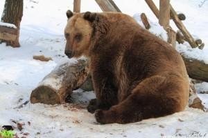 Medveles a Budakeszi és a Szegedi Vadasparkban