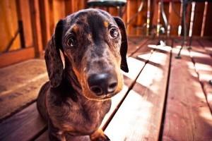 Hirtelen sántít a kutyád? Keresztszalag szakadás?