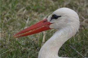 Elkezdődött a tavaszi madárvonulás - az első jeladós fehér gólyánk is elindult