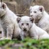 Videón a három kis fehér oroszlánkölyök!