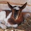 Veszett kecskéket találtak BAZ megyében