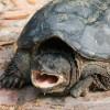 Harapós aligátorteknőst fogtak be Piliscsabán