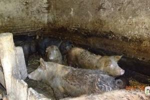 Tiltott módon malacok kapták a moslékot a menhelyi kutyák helyett