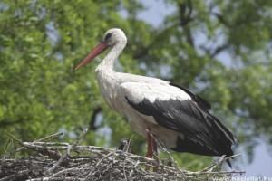 Június közepén indul a fehér gólyák lakossági látványgyűrűzése