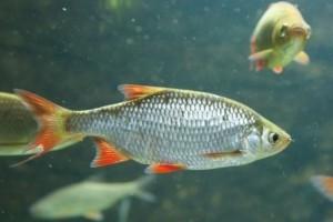 Transzneművé válnak a halak a szennyvizekbe kerülő vegyi anyagok miatt
