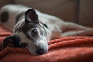 Új izületvédő injekció kutyáknak