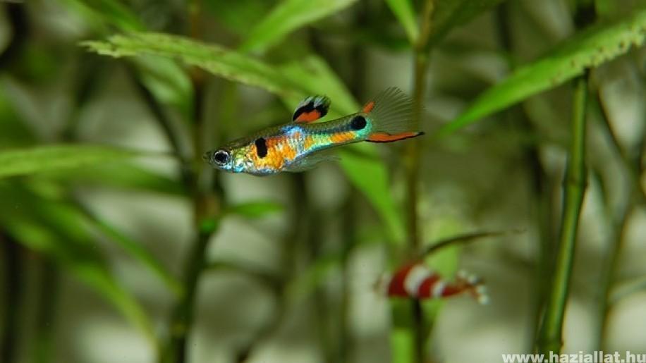 Akvárium: milyen halakat tarthatunk együtt?