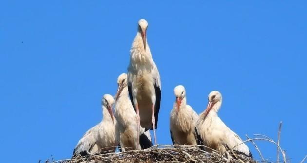 Akciót indított fehér gólyák megmentésére a Madárkórház Alapítvány