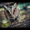 A Harry Potter-láz a vadon élő baglyok vesztét okozhatja Ázsiában