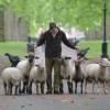 Egy nap alatt híresség lett a Buckingham-palota tövében legelő birkákból