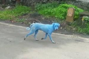 Kék színűre festette a kutyák szőrét egy indiai gyár környezetszennyezése