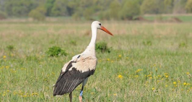 Megkezdték telelésüket a jeladós fehér gólyák