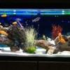 Ilyen egy mintaszerű afrikai sügeres akvárium
