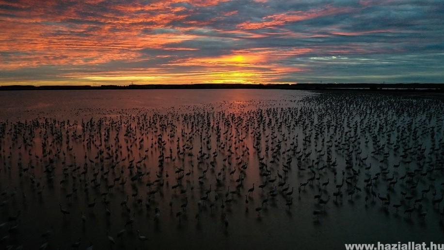 Szemkápráztató az őszi daruvonulás - Több mint 150 ezren a Hortobágyon