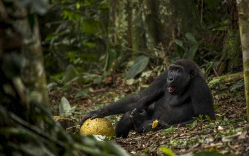 gorilla_nyertesfoto